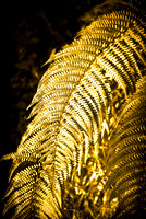 Ferns of Gold