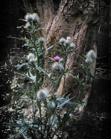 Dalby Thistle