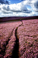 North Yorkshire Heather Walk